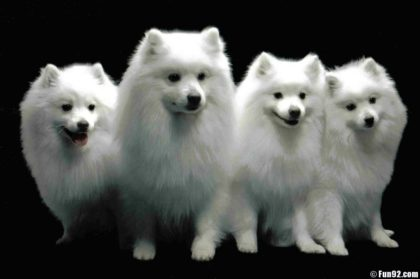 miniature-american-eskimo-dog