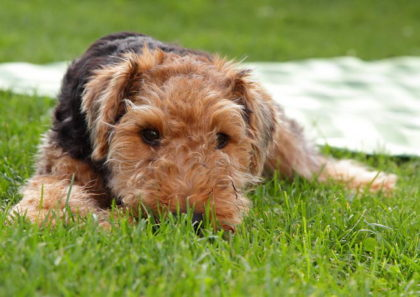 welsh_terrier_06