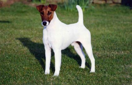 fox-smooth-fox-terrier-breed