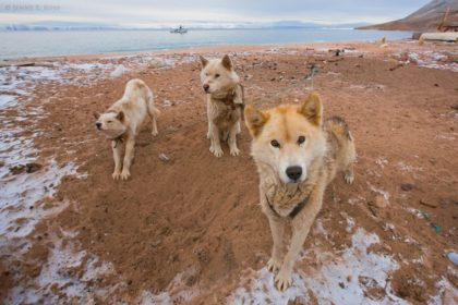 Restless sled dogs wait for sea ice to form, Siorapaluk, Northwest Greenland